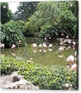 More Pink Flamingos Acrylic Print
