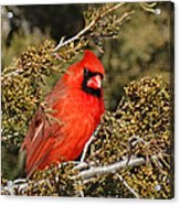 More Than A Red Head Acrylic Print