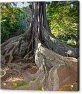 Moreton Bay Fig Tree From Jurrasic Park Acrylic Print