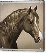 Morgan Horse Old Photo Fx Acrylic Print