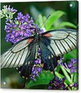 Mormon Butterfly Acrylic Print