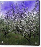 Morning Apple Blooms Acrylic Print