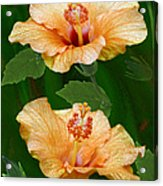 Morning Blooms - Hibiscus Acrylic Print