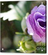 Morning Blossom Acrylic Print