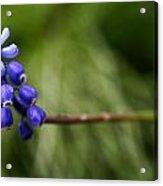 Morning Blue Acrylic Print by Kim Lagerhem