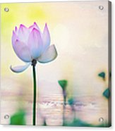 Morning Breeze And Beautiful Lotus Acrylic Print