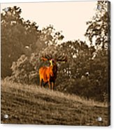 Morning Call Acrylic Print