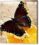 Morning Cloak Butterfly Acrylic Print