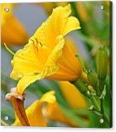 Morning Daylilies Acrylic Print