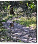 Morning Deer Acrylic Print
