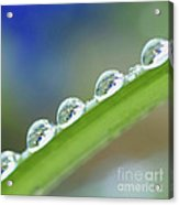 Morning Dew Drops Acrylic Print