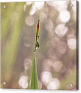 Morning Dew On A Grass Acrylic Print