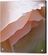 Morning Dew Peach Rose Flower Acrylic Print