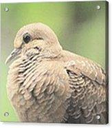 Morning Dove Acrylic Print