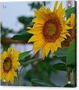 Morning Field Of Sunflowers Acrylic Print