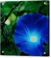 Morning Glory # 2 Acrylic Print