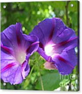 Morning Glory Couple Or 2 Purple Ipomeas Acrylic Print