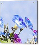 Morning Glory Flowers Acrylic Print