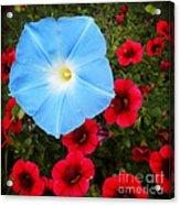Morning Glory Magic Acrylic Print
