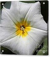 Morning Glory Named White Ensign Acrylic Print