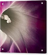 Morning Glory Pink Acrylic Print by Roger Snyder