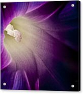 Morning Glory Purple Acrylic Print by Roger Snyder