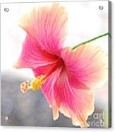 Morning Hibiscus In Gentle Light - Square Macro Acrylic Print