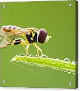 Morning Hoverfly Acrylic Print