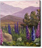 Morning Lupines Acrylic Print