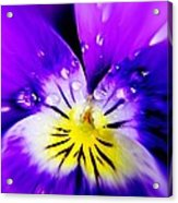 Morning Pansy Acrylic Print