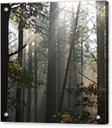 Morning Pines Acrylic Print