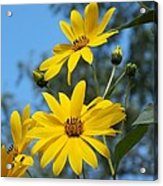 Morning Sunflowers Acrylic Print