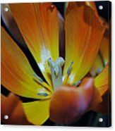 Morning Tulip Acrylic Print