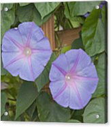 Morning's Glory Acrylic Print