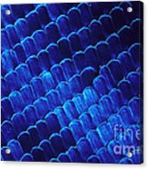 Morpho Butterfly Scales Acrylic Print
