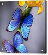 Morpho On Yellow Iris Acrylic Print