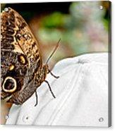 Morphos Butterfly On White Baseball Cap Art Prints Acrylic Print