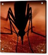 Mosquito Biting A Human Acrylic Print by Science Photo Library