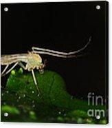 Mosquito Acrylic Print by Paul Ward