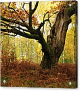 Moss Covered Ancient Hollow Oak Tree In Acrylic Print