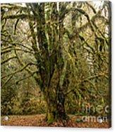 Moss-covered Bigleaf Maple  Acrylic Print