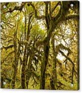 Moss-covered Maple Grove Acrylic Print