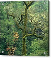 Moss Covered Tree Central California Acrylic Print