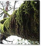 Moss Covered Tree Acrylic Print