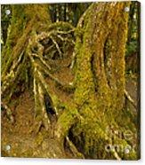 Moss-covered Tree Trunks  Acrylic Print