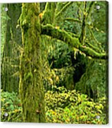 Moss Draped Big Leaf Maple California Acrylic Print