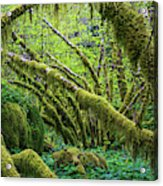 Moss Grows On Vine Maple Trees  Acer Acrylic Print