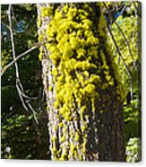 Moss On Tree Along Sentinel Dome Trail In Yosemite Np-ca Acrylic Print