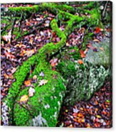 Moss Roots Rock And Fallen Leaves Acrylic Print
