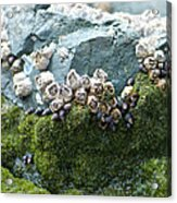 Mossy Barnacles Acrylic Print